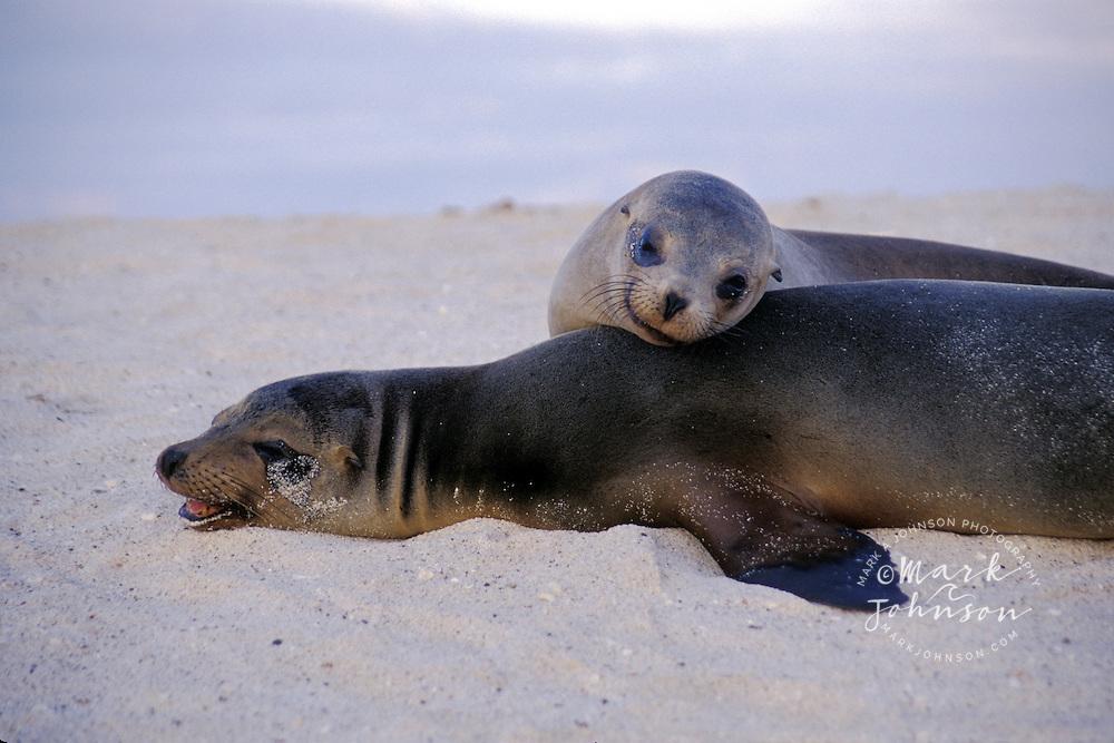 Ecuador, Galapagos Is., Mosquera Is., Galapagos Sea Lions