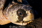 tears or salt secretions flow from salt glands next to eye of female olive ridley sea turtle, Lepidochelys olivacea, while nesting, Ostional, Costa Rica ( Pacific )