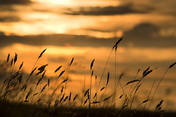 July 21, 2019 - Cattails In The Sunset (Credit Image: © John Short/Design Pics via ZUMA Wire)