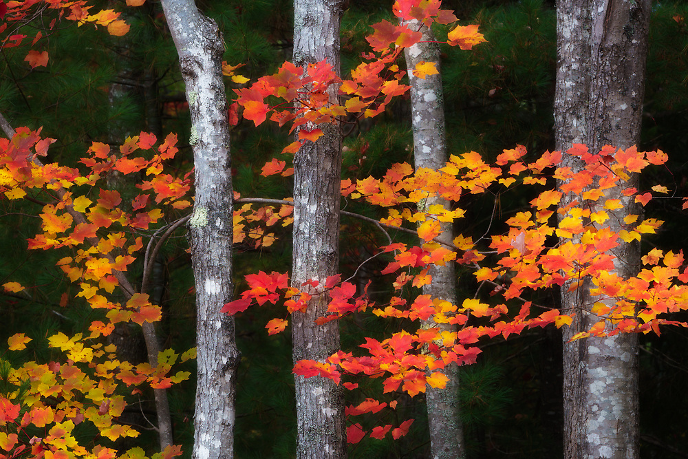 Intimate forest scene during peak fall color in Acadia National Park, ME USA