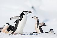 Chinstrap penguins at Orne Harbour, Antarctica