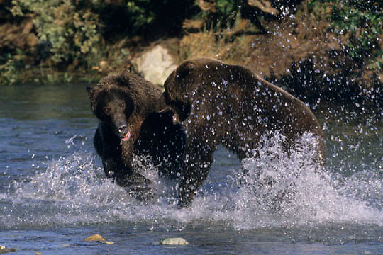 Alaskan Brown Bear, (Ursus middendorffi)  Two large bears fighting in water. Katmai National Park. Alaska.