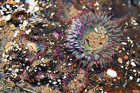 A sea anemone on the Oregon Coast