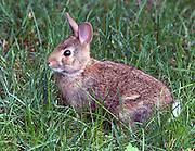 Backyard Rabbit-8-9-08 MASTER RAWS....
