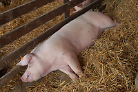 Zdjecie ilustracyjne N/z swinia w klatce fot Michal Kosc / AGENCJA WSCHOD
