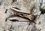 Close-up of a Lesser swallow prominent moth (Pheosia gnoma) resting on the branch of a birch tree in a Norfolk garden in summer