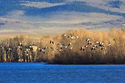 American Avocets over the Regulating Reservoir near Helena, Montana.