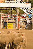 Girl competes in Mutton Busting, sheep riding, Kids rodeo at Livingston Montana