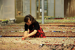 May 14, 2019 - Jinan, Jinan, China - Jinan, CHINA-A peasant takes care of succulent plants in Jinan, east China's Shandong Province. Succulent plant industry booms in China in recent years. (Credit Image: © SIPA Asia via ZUMA Wire)