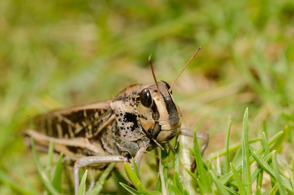 Cricket/ Locust, Bream Head, Unknown