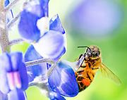 Honey bee pollinators in the Lady Bird Johnson Wildflower Center garden