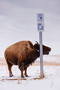 19 FEBRUARY 2021 - PRAIRIE CITY, IOWA: An American Bison (buffalo) rubs its head against a signpost in the Neal Smith National Wildlife Refuge near Prairie City, about 45 minutes from downtown Des Moines. The Wildlife Refuge has the largest herd of wild bison in Iowa and the only herd of wild elk in Iowa. Both animals were once native to Iowa and common in the state, but were hunted to extinction in 19th century. Controlled herds were reintroduced in the mid 20th century. Both the bison and elk herds are carefully managed to maintain genetic diversity.      PHOTO BY JACK KURTZ