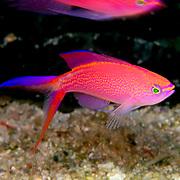 Princess Anthias inhabit reefs. Picture taken Raja Ampat, Indonesia.