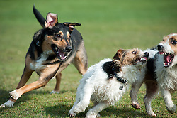 A black and tan mixed breed young dog with two small black, white and tan Jack Russell terrier dogs play fighting in a park, socializing, socialising, <br /> 9 Aug 2010 .Images © Paul David Drabble..