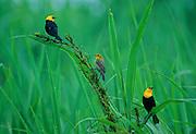 Yellow-hooded Blackbirds at edge of lake - Amazonia, Peru.