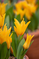 Tulipa praestans 'Shogun' AGM planted in a terracotta pot