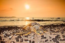 green sea turtle, Chelonia mydas, basking on the beach at sunset, Anaehoomalu or `Anaeho`omalu Bay, Waikoloa, Kohala Coast, Big Island, Hawaii, USA, Pacific Ocean