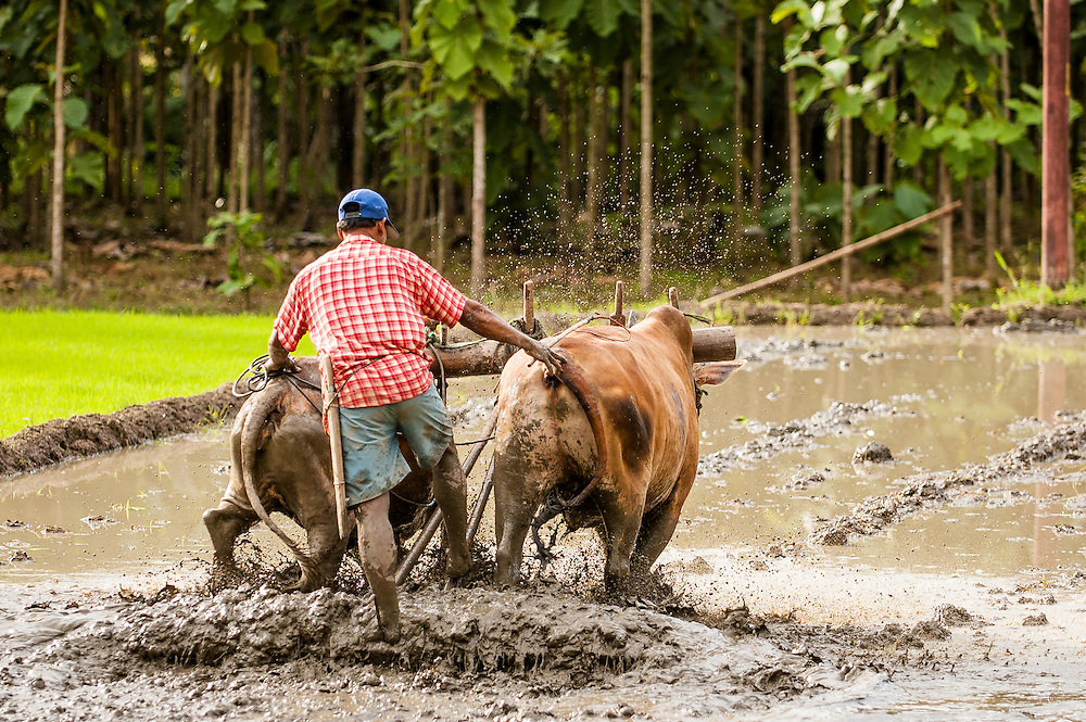 Stock photograph of a rice farmer in North Sulawesi ploughing the rice paddy in preparation for planting