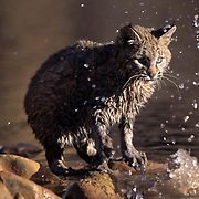 Bobcat (Lynx rufus) in the Red Rock Country of Utah at a river.  Captive Animal.