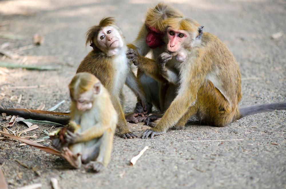 Bonnet macaque monkeys in Royal Botanical Garden, Peradeniya, Kandy, Sri Lanka