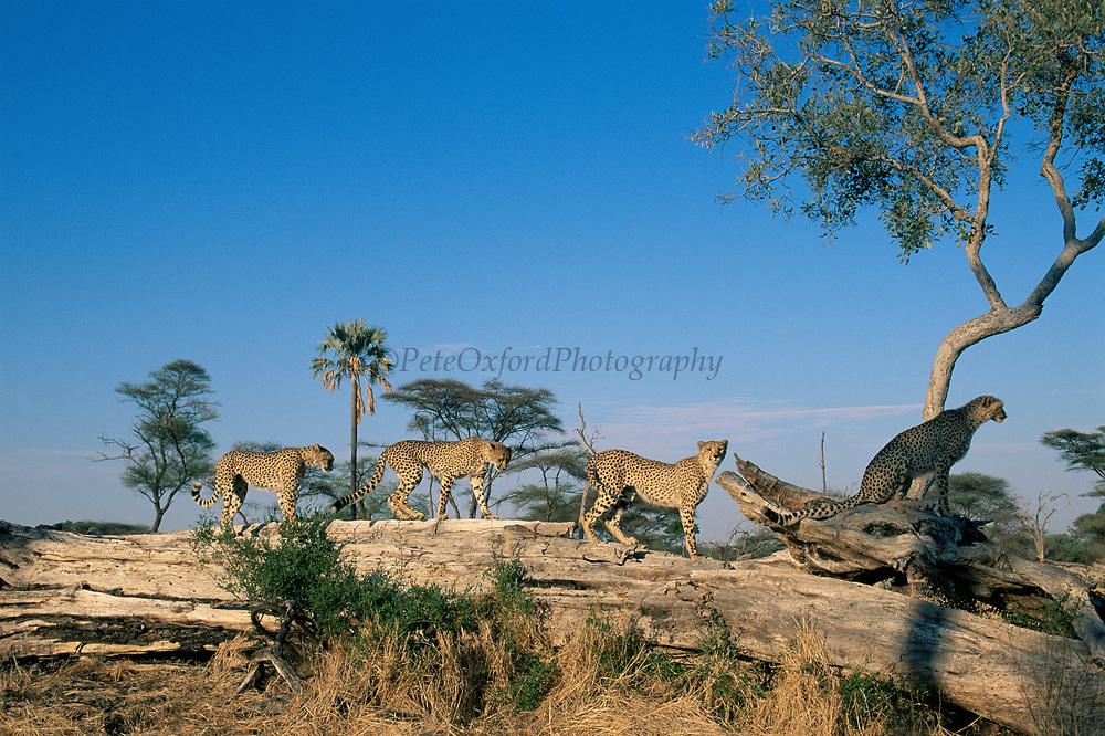 Cheetah with three juveniles (Acinonyx jubatus) crossing fallen tree trunk, Okavango Delta, Botswana