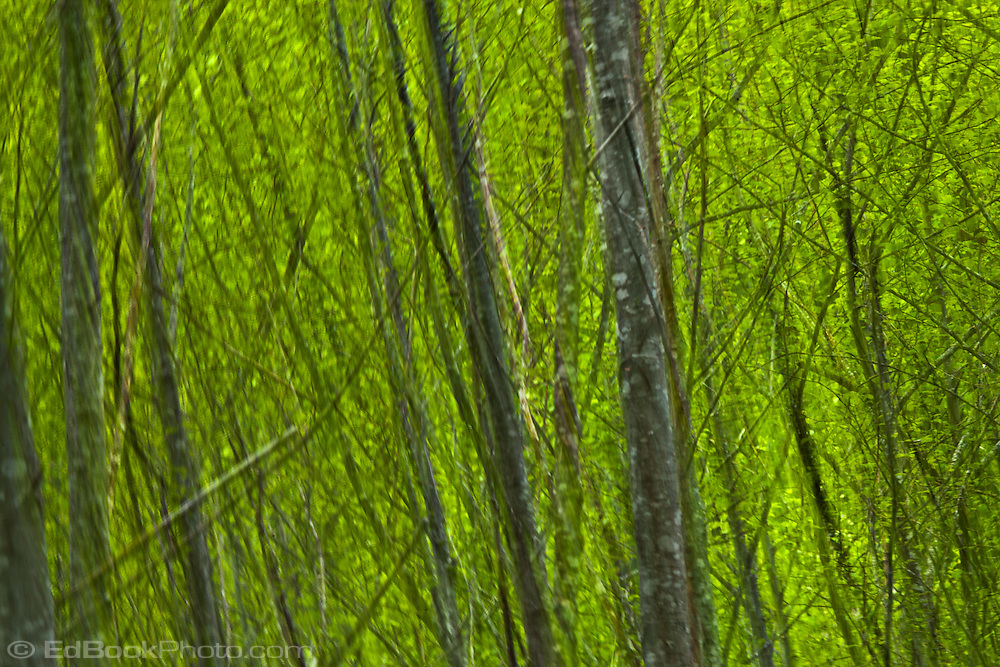 Red Alder (Alnus rubra) forest in spring green leaves with branches taken to abstract by camera motion blur. Olympic National Forest in Washington, USA