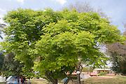 Koelreuteria bipinnata Chinese flame tree;