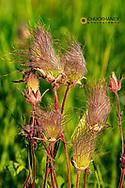 Prairie smoke wildflowers in Theodore Roosevelt National Park, North Dakota, USA