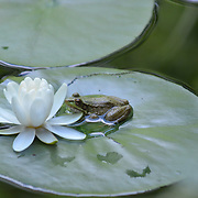 A frog and a lotus flower one of the pools at the meditation temple of the Omega Institute in Rhinebeck, NY.