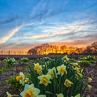 Massachusetts landscape sunset photography of the beautiful Belkin Family Lookout Farm with a bunch of daffodil flowers in Natick, MA.<br /> <br /> South Natick Belkin Family Lookout Farm photography images are available as museum quality photo, canvas, acrylic, wood or metal prints. Fine art prints may be framed and matted to the individual liking and interior design decoration needs:<br /> <br /> https://juergen-roth.pixels.com/featured/blooming-daffodils-at-the-belkin-lookout-farm-juergen-roth.html<br /> <br /> Good light and happy photo making!<br /> <br /> My best,<br /> <br /> Juergen