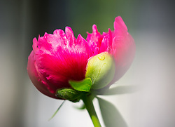 THEMENBILD - eine pinke Pfingstrose (Paeonia), aufgenommen am 20. Mai 2018, Kaprun, Österreich // a pink peony rose on 2018/05/20, Kaprun, Austria. EXPA Pictures © 2018, PhotoCredit: EXPA/ Stefanie Oberhauser