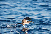 pink-footed shearwater, Ardenna creatopus or Puffinus creatopus, taking flight from the sea surface, offshore from southern Costa Rica, Central America ( Eastern Pacific Ocean )