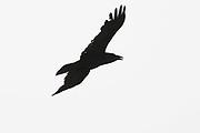 Raven, Corvus corax, flying, Inverness-shire, Highland.<br /> animal; animals; bird; birds; wildlife; nature; corvid; corvids;<br /> one; lone; alone; single; black; white; fly; free; freedom; flight
