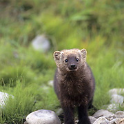 Fisher, (Martes pennanti) Montana. Hunting along edge of stream. Captive Animal.