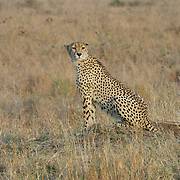 Cheetah in Londolozi Game Reserve, South Africa.