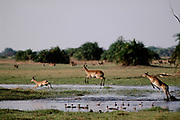 Lechwe leaping across water with wildfowl. Okavango Delta, Botswana