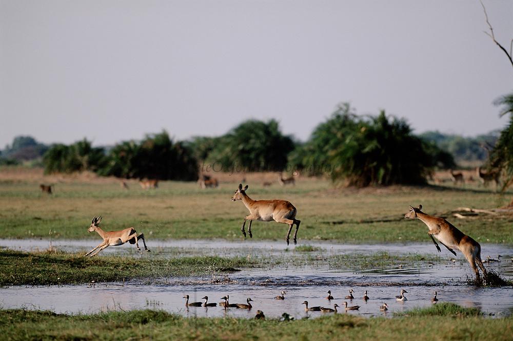Lechwe leaping across water with wildfowl. Okavango Delta, Botswana