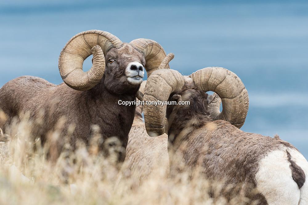 world record rocky mountain bighorn ram, record ram from montana world record bighorn ram