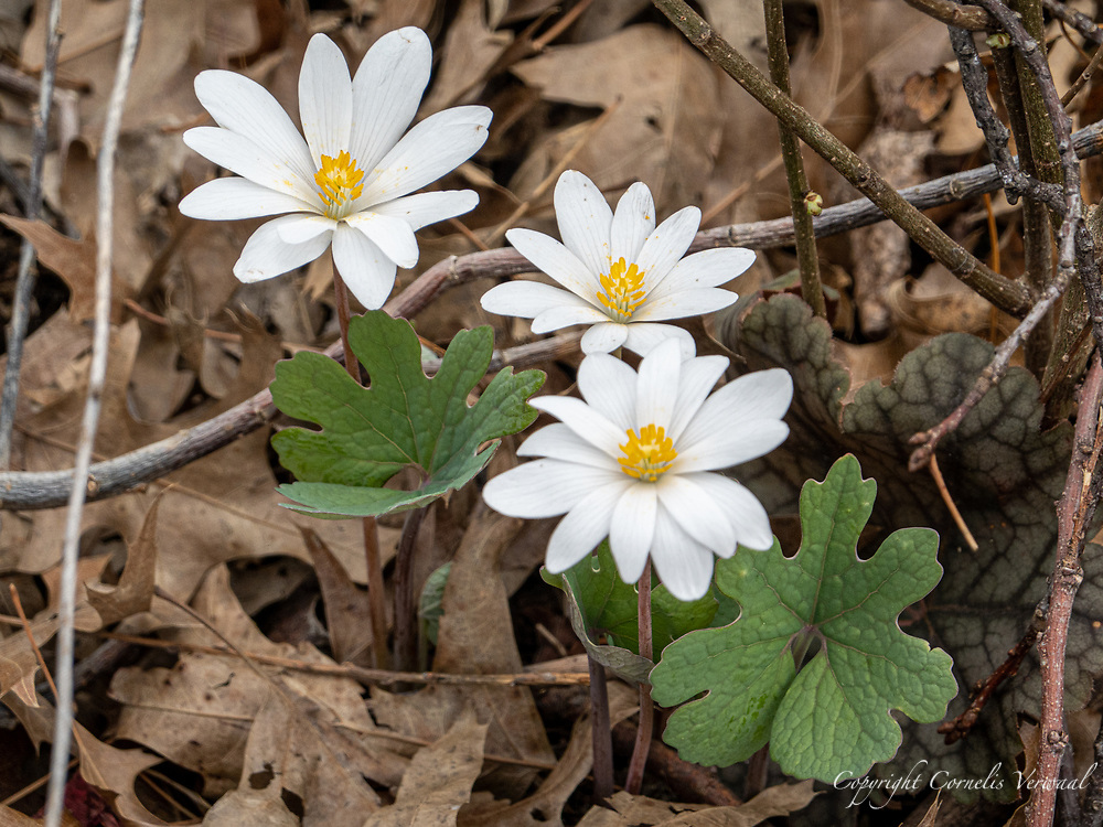 Bloodroot flowers (Sanguinaria canadensis) at The Point in Central Park