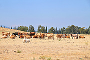 free grazing cattle. Photographed in Israel