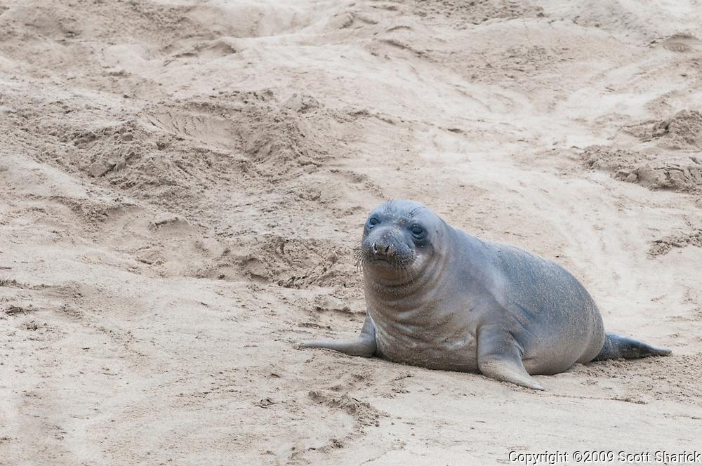 Elephant seals along the California Coast at Ano Nuevo State Park