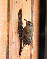 House Wren. Image taken with a Fuji X-H1 camera and 80 mm f/2.8 macro OIS lens.