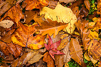 Autumn fallen leaves with water drops.