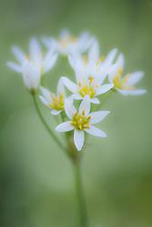 False garlic,Texas Buckeye Trail, Great Trinity Forest, Dallas, Texas, USA.