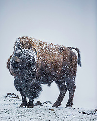 A bison contemplating the weather, not happy with is conclusion.