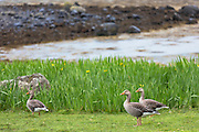 Greylag geese, Anser anser, - Greylags - on Isle of Mull in the Inner Hebrides and Western Isles, West Coast of Scotland