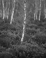 A silver birch tree stands slightly apart from its friends at Whitmoor Common near Guildford, Surrey, UK. Photo copyright Andrew Tobin http://tobinators.com