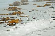 Atlantic Piping Plover (Charadrius melodus melodus)  on the shore of the Atlantic Ocean. Endangered SPecies in Canada.<br />Kejimkujik National Park (Seaside Adjunct)<br />Nova Scotia<br />Canada