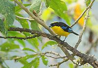 Blue-winged mountain tanager, Anisognathus somptuosus, Tandayapa Valley, Ecuador