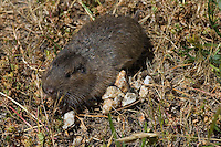 Pocket Gopher looking for food.